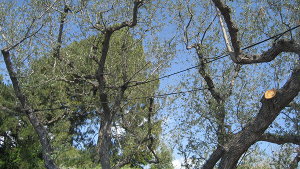 Tree Bracing and Cabling